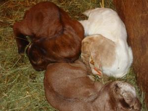 Trixe's sleeping triplets