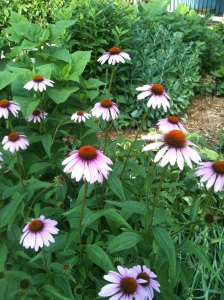 Summer Beauties!  These beautiful cone flowers are one of my favorite perennials in my garden.